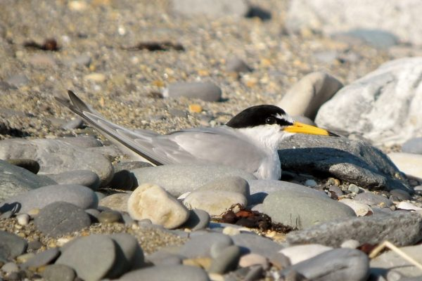 Adult-little-tern-incubating-a-clutch-of-eggs-on-shingle-beach