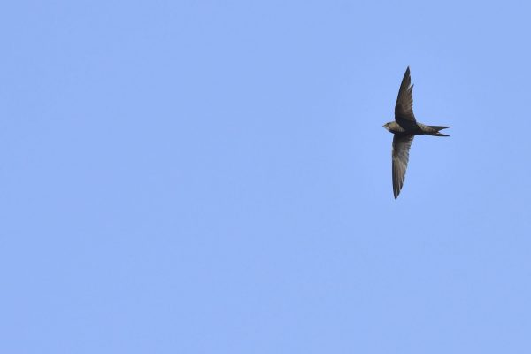 Swift-in-flight