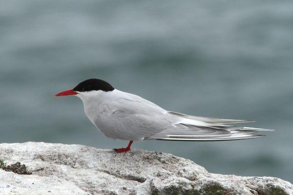 arctic-tern-standing-on-rock