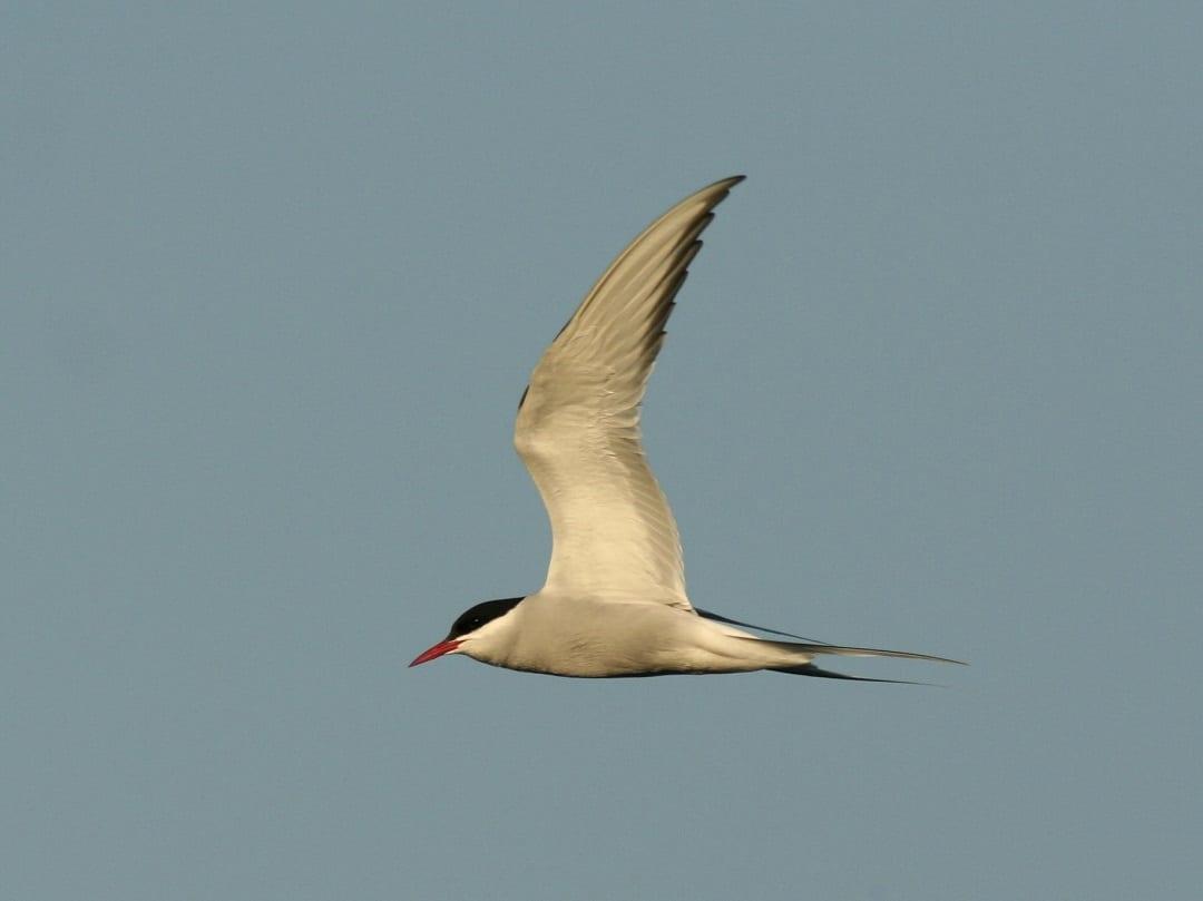 Arctic-tern-in-flight-side-profile