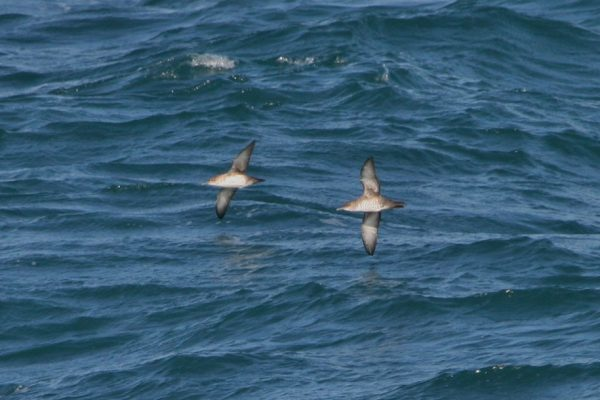 Balearic Shearwater_Celtic Sea_off Cork_RV Celtic Explorer_9th October 2014