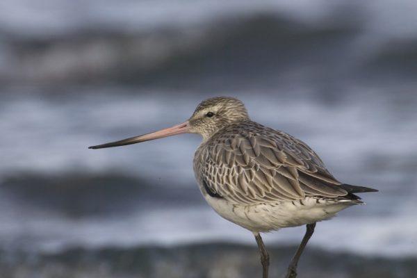 bar-tailed-godwit-walking-on-rock