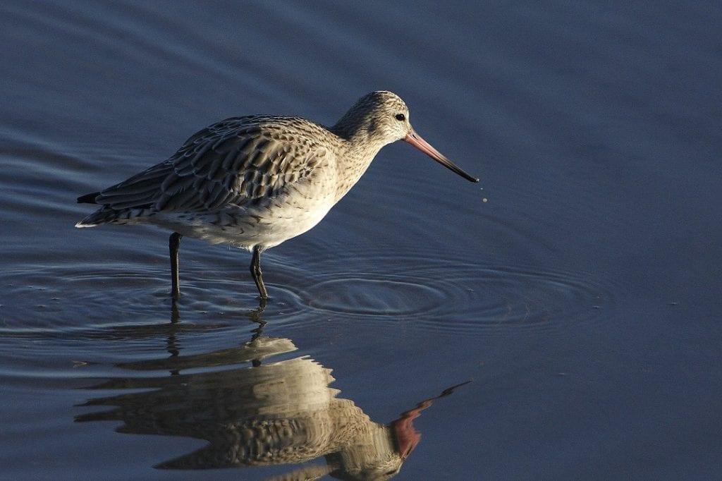 bar-tailed-godwit-wading-through-water