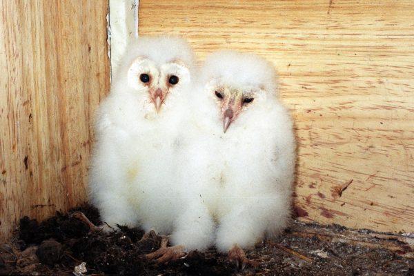 pair-of-barn-owl-chicks-in-nest-box