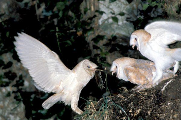 Barn-owl-feeding-well-grown-young