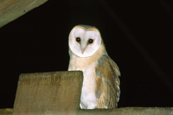 barn-owl-roosting-on-rafter-in-barn