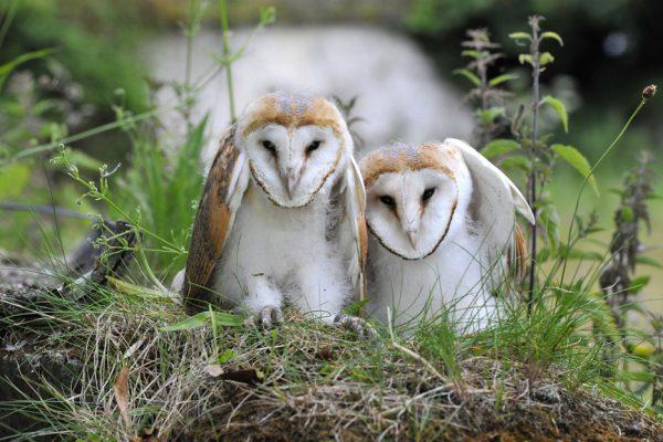 pair-of-barn-owls-on-grassy-tuft