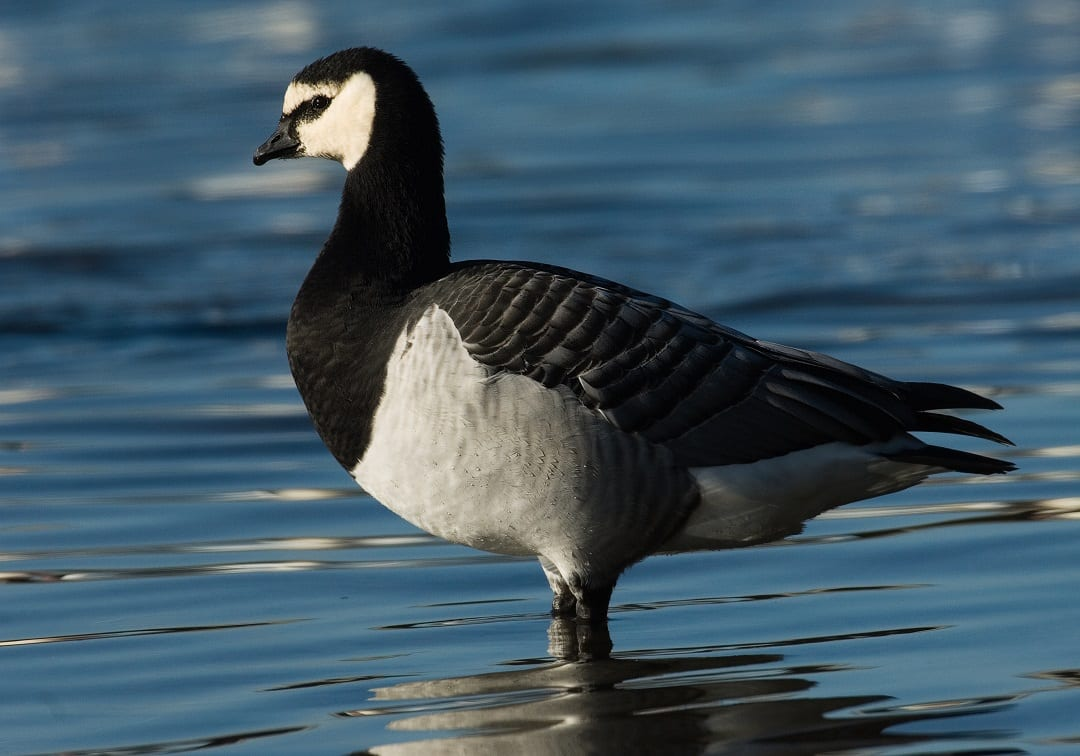 barnacle-goose-standing-in-water