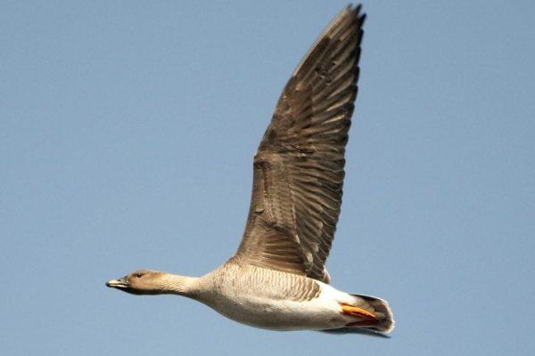 Bean Goose (Sergey Yeliseev)