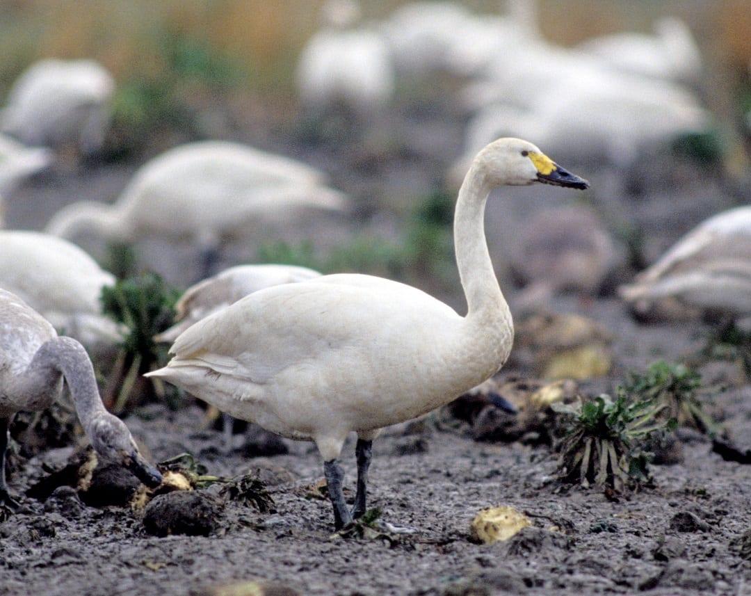 bewick's-swan-standing-on-muddy-shore