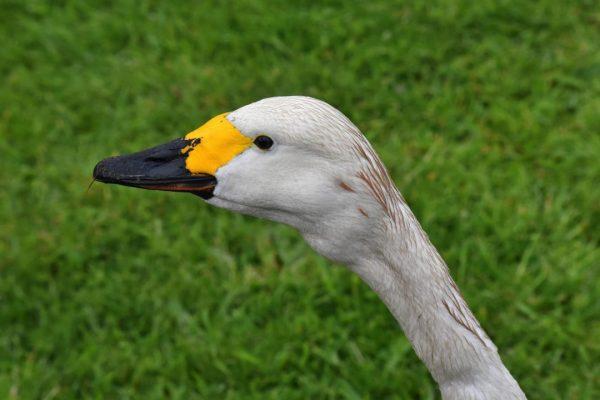 Bewick's Swan (Don Loarie)