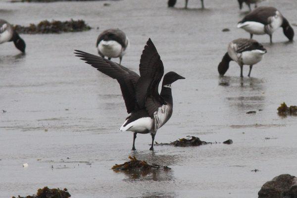 black-brant-goose-on-shore