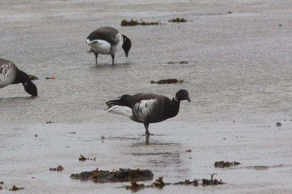 black-brant-goose-foraging-on-shore