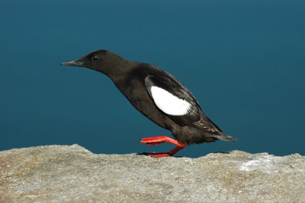 black-guillemot-running-across-rock