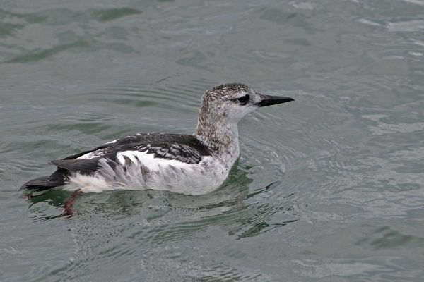 black-guillemot-winter-plumage-swimming