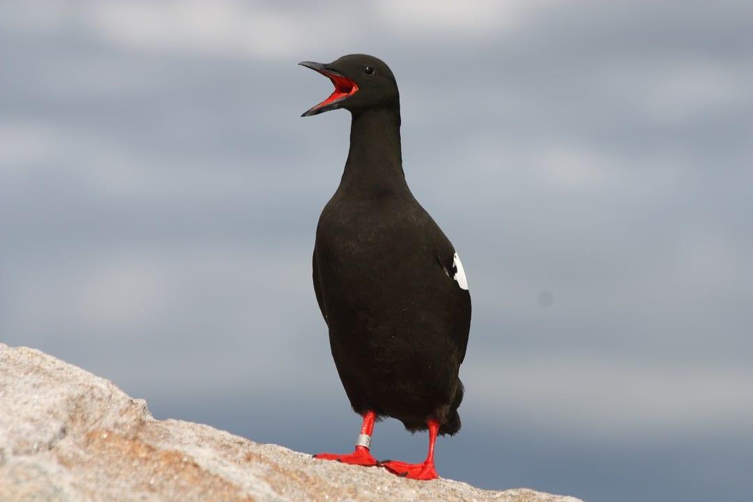 black-guillemot-standing-on-stone-calling