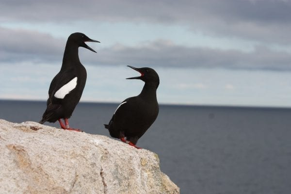pair-of-black-guillemots-on-stone