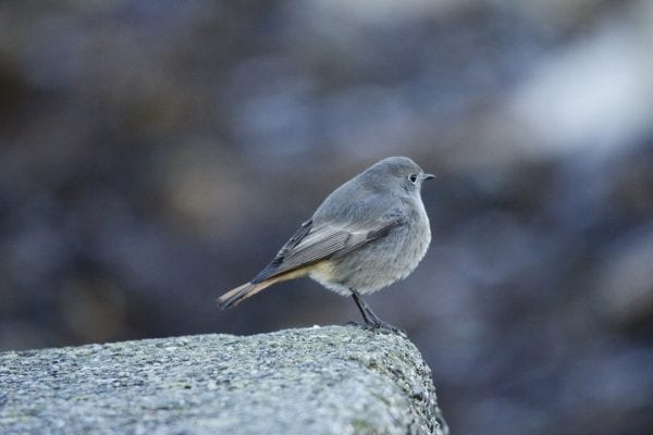 black-redstart-facing-away