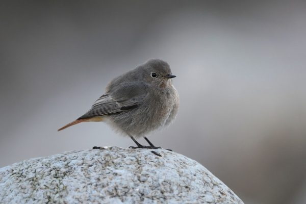 black-redstart-facing-towards