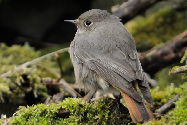 black-redstart-on-mossy-branch