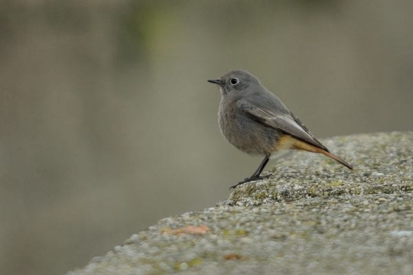 black-redstart-standing-on-rock