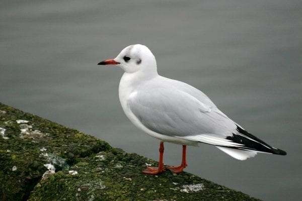 black-headed-gull-on-harbour-wall