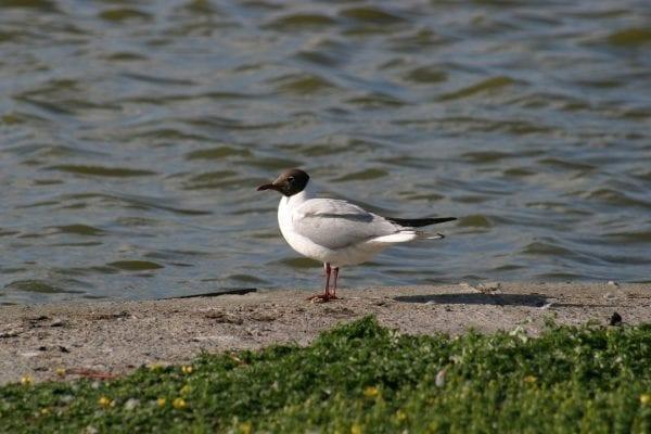 black-headed-gull-summer-plumage-on-sandy-shore
