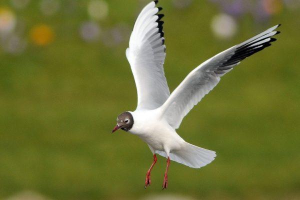 black-headed-gull-in-flight