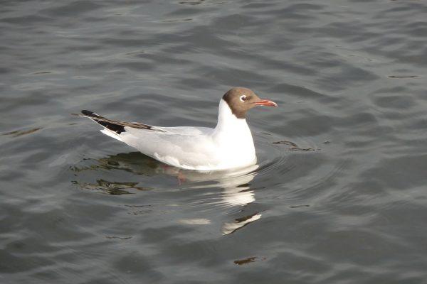 black-headed-gull-Cormac-Byrne