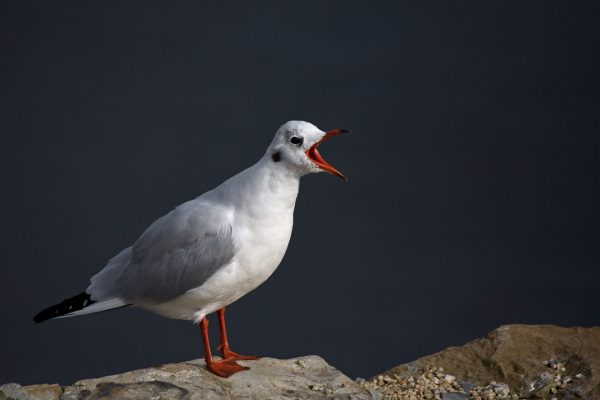 black-headed-gull-calling-from-rock
