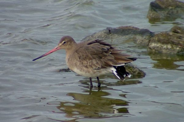 black-tailed-godwit-wading-through-water