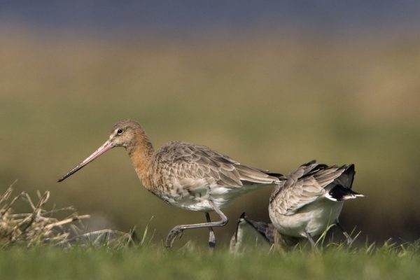 black-tailed-godwit-pair-foraging
