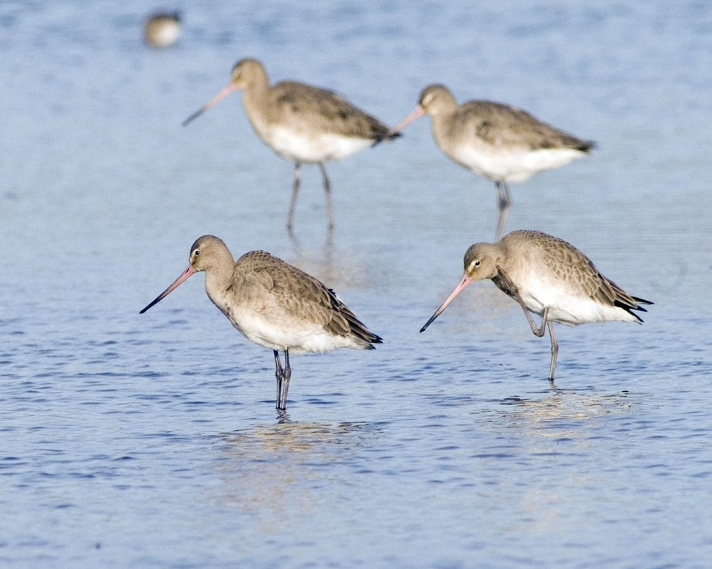 black-tailed-godwits-in-water