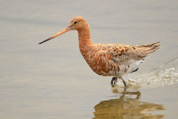 black-tailed-godwit-summer-breeding-plumage
