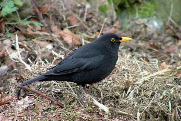 blackbird-amongst-leaf-litter