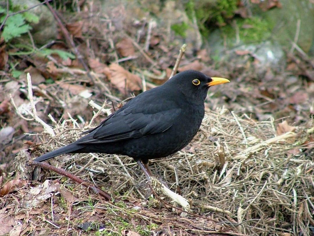 blackbird-amongst-leaf-litter