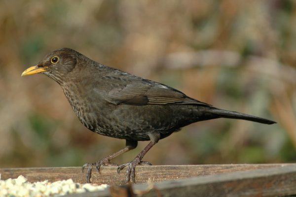 blackbird-female-on-fence