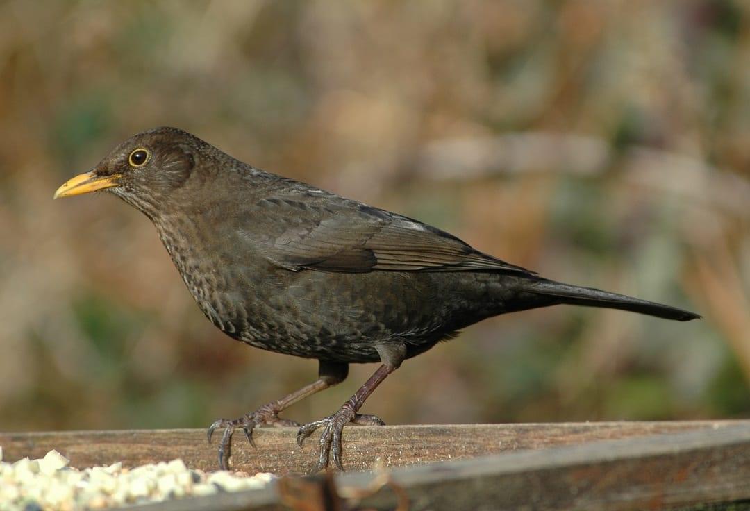blackbird-female-on-fence