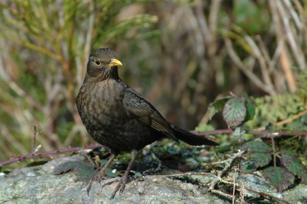 blackbird-female-on-rock-with-brambles