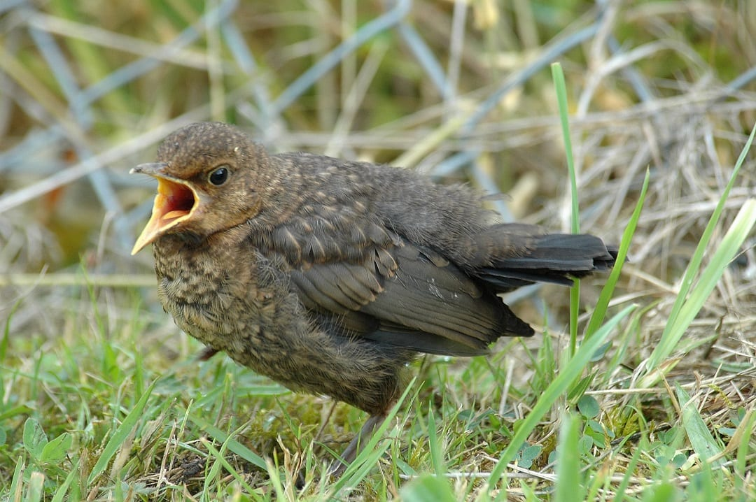 blackbird-fledgling-in-grass