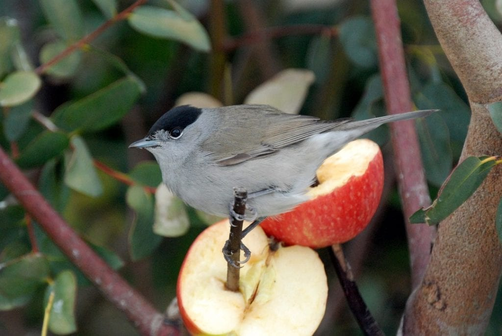 blackcap-male-feeding-on-apple