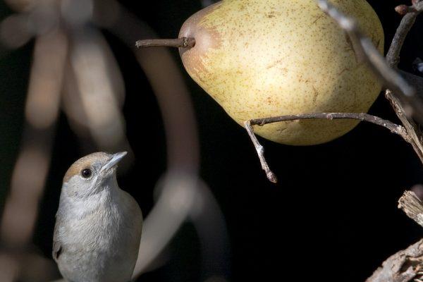 blackcap-female-feeding-on-pear