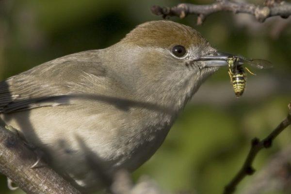 blackcap-female-with-wasp-prey-in-beak