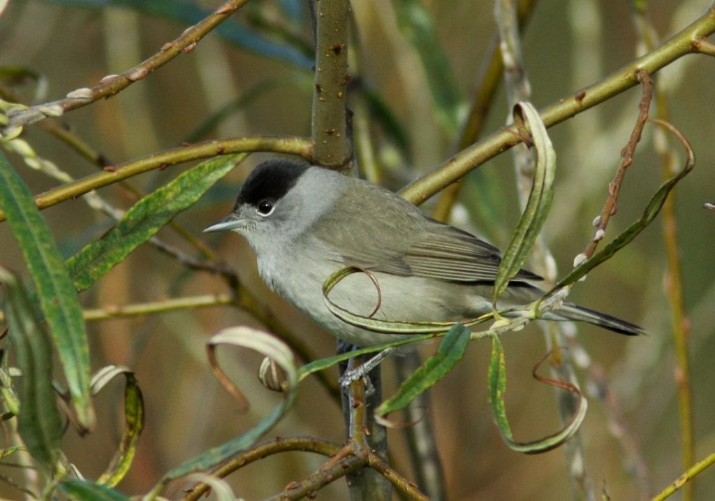 blackcap-male-on-willow-branch