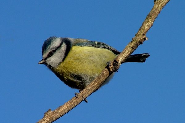 blue-tit-perched-on-branch