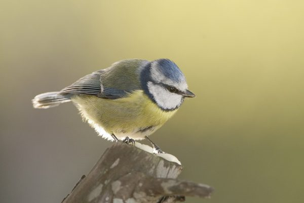 blue-tit-standing-on-end-of-branch