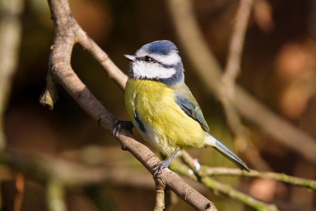 blue-tit-foraging-in-tree