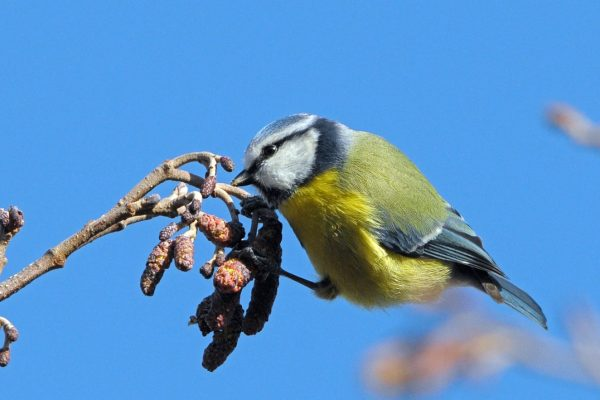 blue-tit-foraging-on-alder-catkins