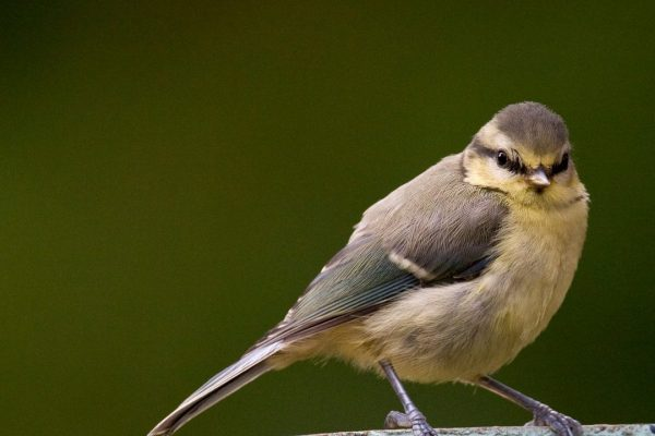 blue-tit-juvenile-standing-on-garden-pot