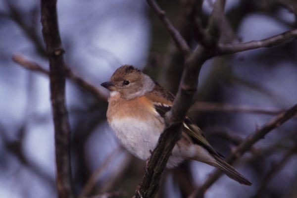 brambling-perched-on-branch